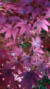 A Japanese maple in the Sandstone Rock Garden