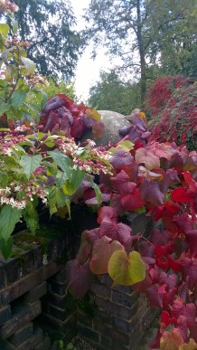 Vitis coignetiae with Clerodendrum trichotomum on Winterbourne Terrace