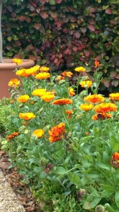 Calendula 'Orange Prince' on the Lower Lawn