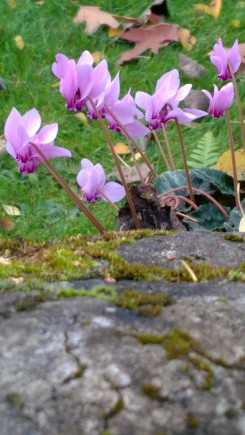 Cyclamen hederifolium in the Nicolson Rocks