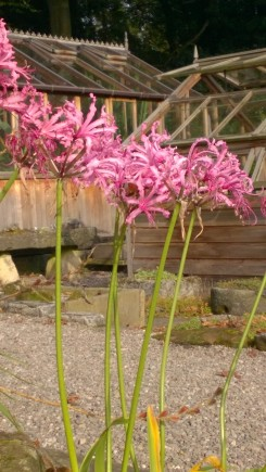 Nerine bowdenii in the South African Bulb Bed
