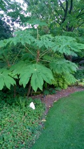 Tetrapanax 'Rex' still in full leaf in late October