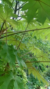 The undersides of the leaves have a rich, velvety, quality