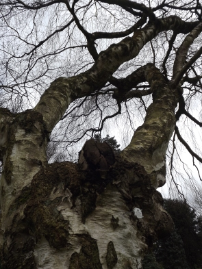 Betula pendula 'Youngii', Winterbourne House and Garden, Digging for Dirt