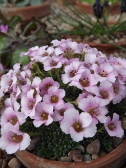 Saxifraga 'Sissi', Winterbourne House and Garden, Digging for Dirt