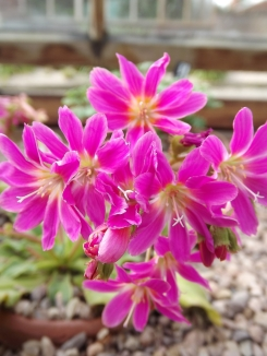 Lewisia 'Bright Eyes', Winterbourne House and Garden, Digging for Dirt