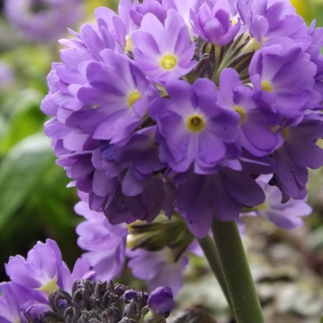 Primula denticulata, Winterbourne House and Garden, Digging for Dirt