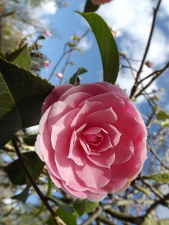 Camellia x williamsii 'E. G. Waterhouse', Photograph by Leighanne Keasey, Winterbourne House and Garden, Digging for Dirt