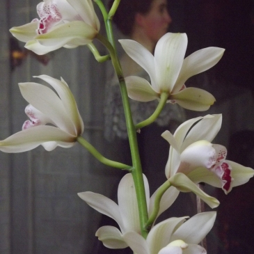 Cymbidium hybrid, Winterbourne House and Garden, Digging for Dirt