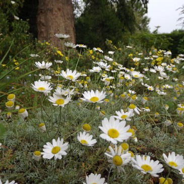 Anthemis tuberculata in the Old Meadow, Winterbourne House and Garden, Digging for Dirt