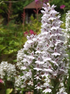 Dactylorhiza, Winterbourne House and Garden, Digging for Dirt