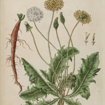 Elizabeth Blackwell, A Curious Herbal, Dandelion, Winterbourne House and Garden, Digging for Dirt