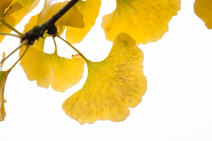 Ginkgo biloba, autumn colour, photograph by Jenny Lilly, Winterbourne House and Garden, Digging for Dirt