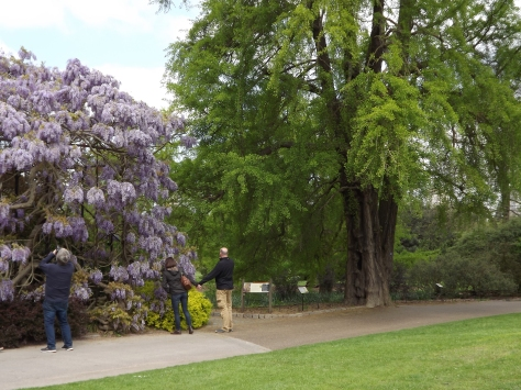 Ginkgo and Wisteria, Old Lion, Royal Botanic Gardens, Kew, Winterbourne House and Garden, Digging for Dirt