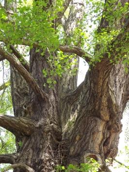 Ginkgo biloba, Old Lion, Royal Botanic Gardens, Kew, Winterbourne House and Garden, Digging for Dirt