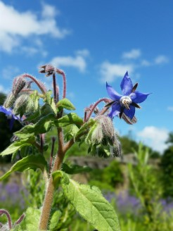 Borage, photograph by Leighanne Keasey, Winterbourne House and Garden