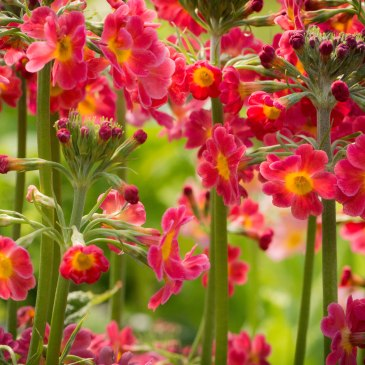 Candleabra primula, photograph by Hiromu Otsuka, Winterbourne House and Garden, Digging for Dirt