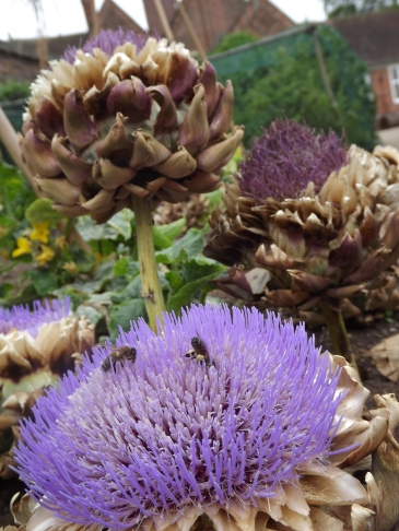 Cardoon, Walled Garden, Winterbourne House and Garden, Digging for Dirt