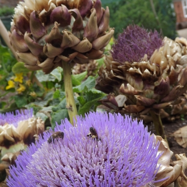 Cardoon, Walled Garden, Winterbourne House and Garden, Digging for Dirt