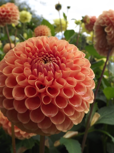 Dahlia 'Amberglow', Winterbourne House and Garden, Digging for Dirt