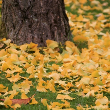 Ginkgo biloba in the Arboretum, photograph by Carien van Boxtel, Winterbourne House and Garden, Digging for Dirt