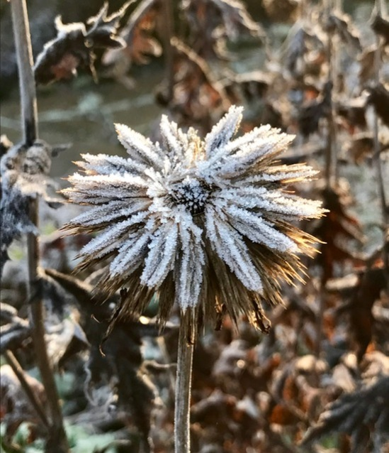 Eryngium seed head, photograph by Marie Belfort, Winterbourne House and Garden, Digging for Dirt