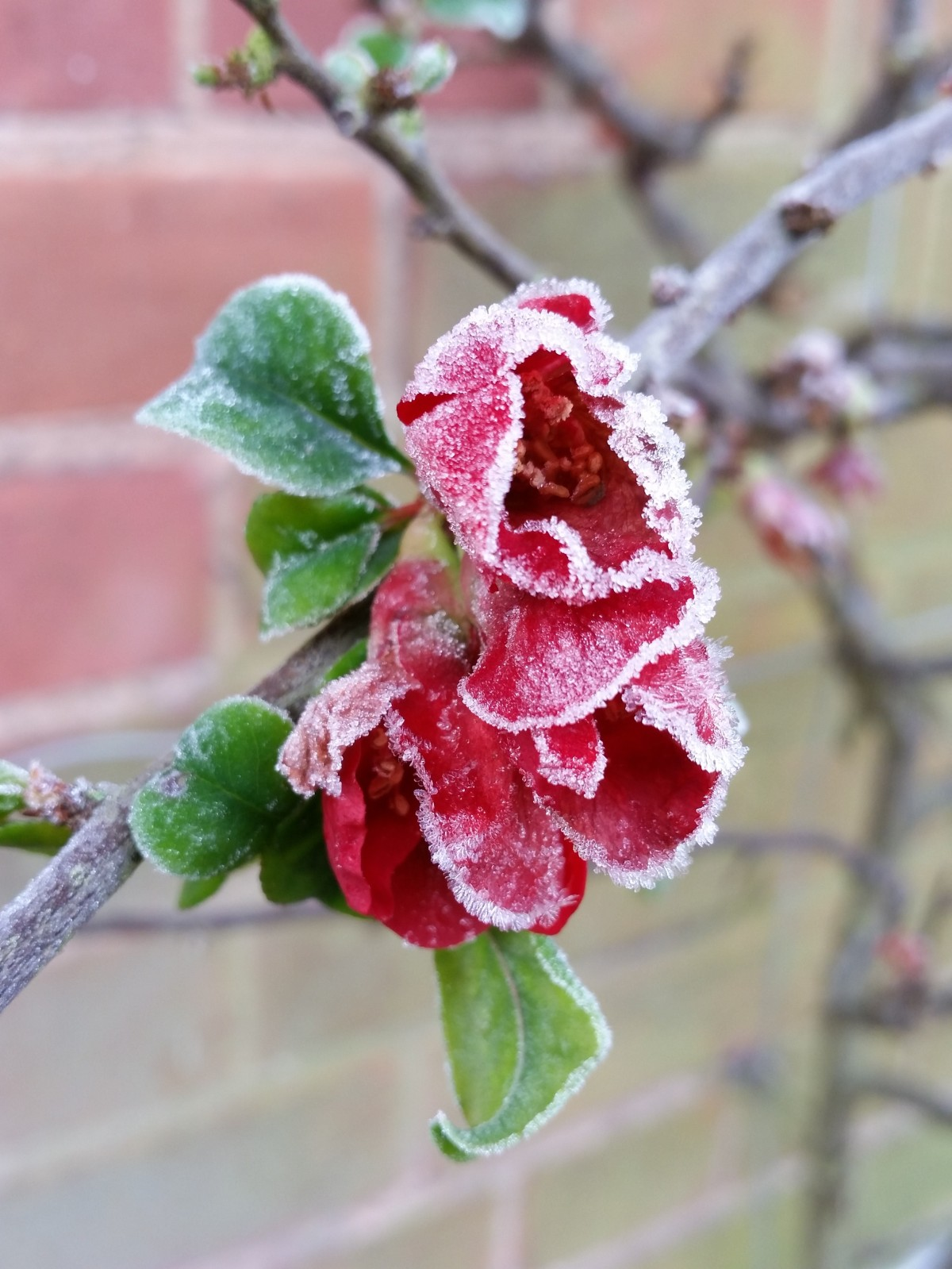Japanese quince, photograph by Leighanne Gee, Winterbourne House and Garden, Digging for Dirt